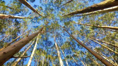 Foto de un árbol de eucalipto