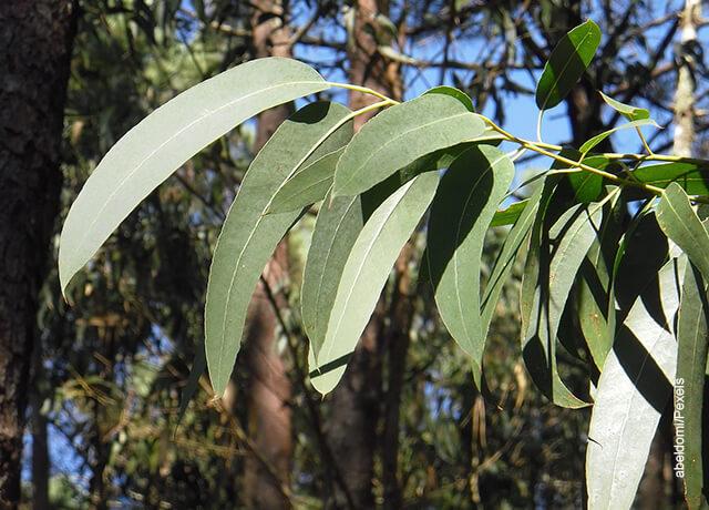 Foto de hojas de eucalipto que reflejan para qué sirve el eucalipto
