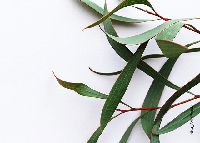 Foto de una rama de eucalipto