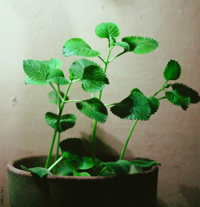 Foto de una planta de orégano