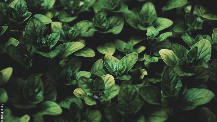Foto de una planta de albahaca