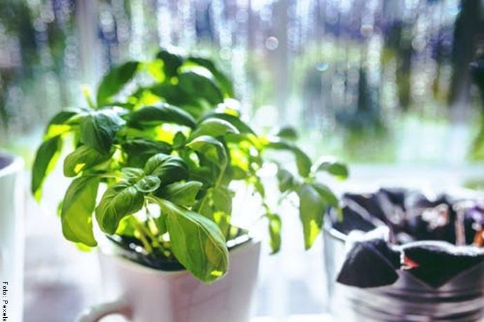 Foto de unas hojas de albahaca