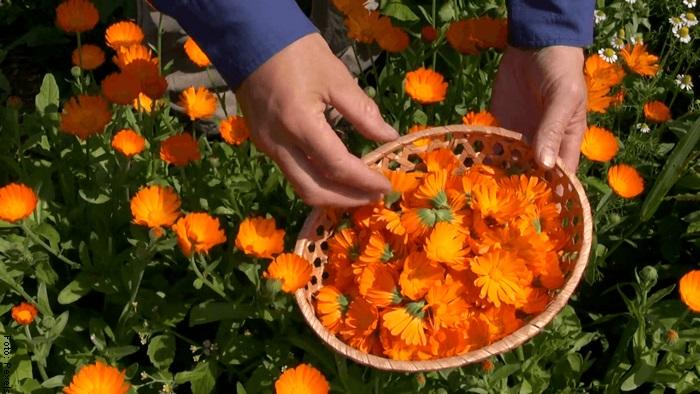 Foto de un hombre recogiendo flores de caléndula