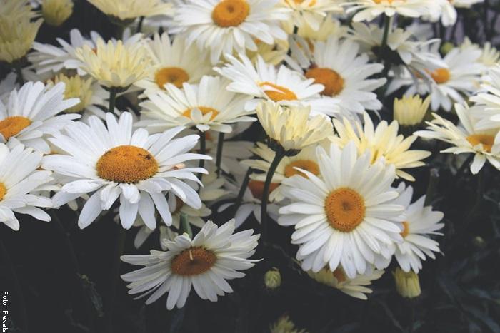 Foto de plantas para ilustrar para qué sirve la manzanilla