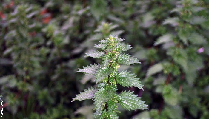 Foto de una planta de ortiga