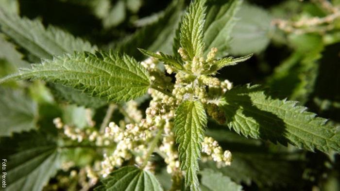 Foto de unas hojas de ortiga