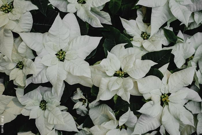 Foto de una planta de navidad blanca