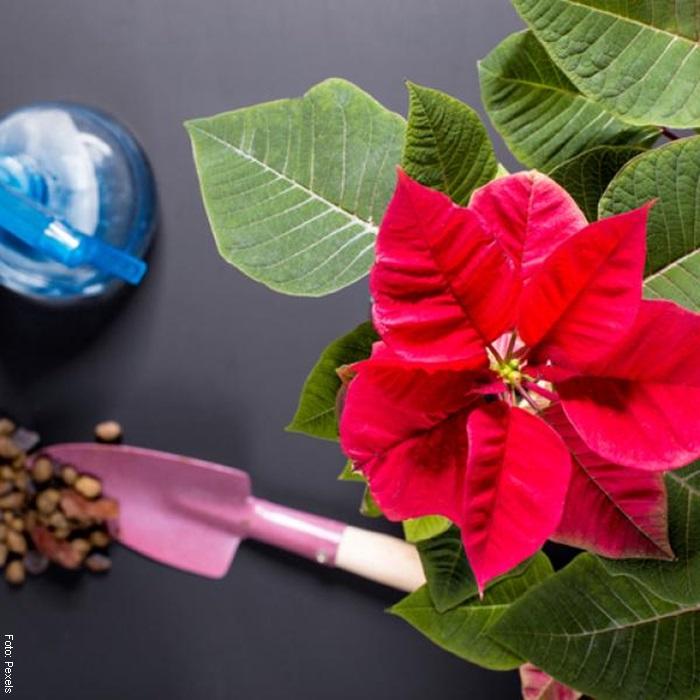 Foto para ilustrar planta de navidad cuidados