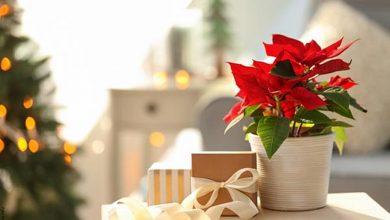 Planta de navidad: Cuidados para verla hermosa