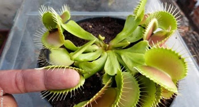 Foto de una planta carnívora mordiendo el dedo de un hombre