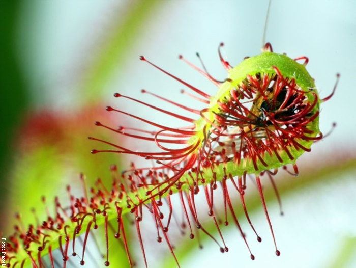 Foto de una planta carnívora comiéndose un insecto