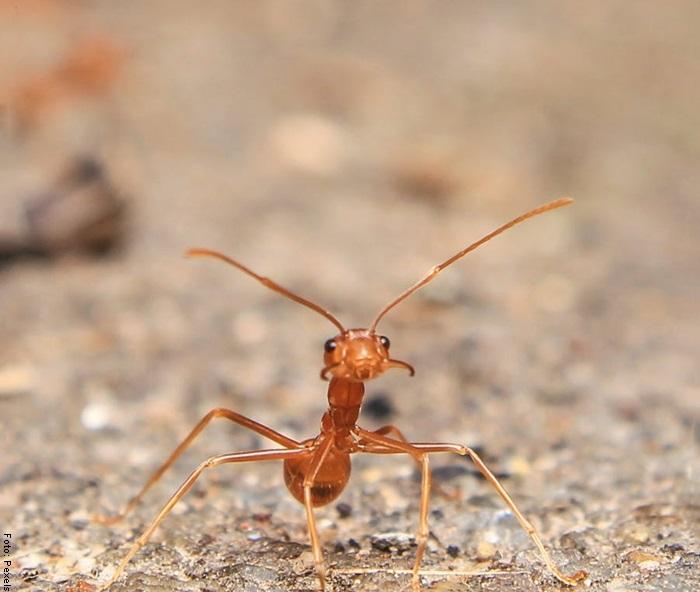 Foto de una hormiga roja para ilustrar qué significa soñar con hormigas