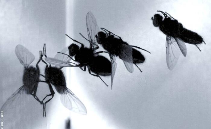 Foto de unas moscas negras para ilustrar qué significa soñar con moscas