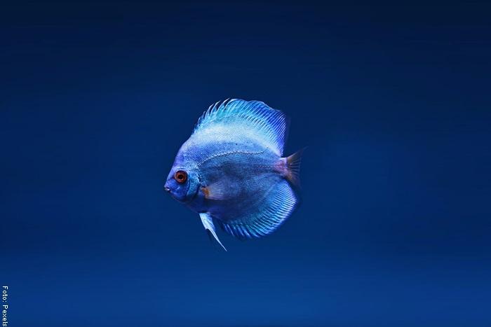 Foto de un pez pequeño para ilustrar qué significa soñar con pescados