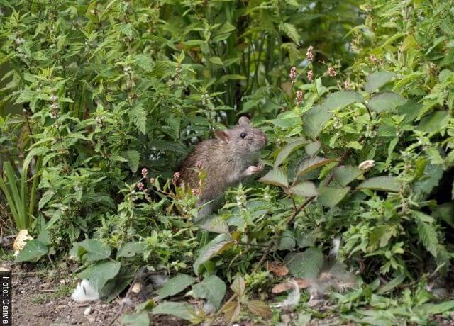 Foto de una rata en el bosque para ilustrar qué significa soñar con ratas