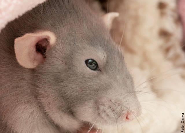 Foto de la cabeza de una rata gris