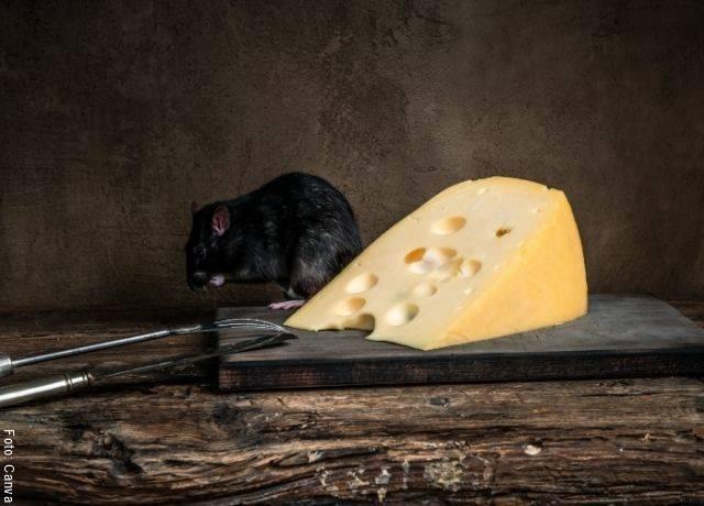 Foto de una rata negra