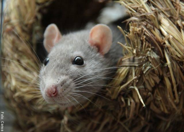 Foto de un roedor en su nido