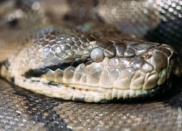 Foto de culebra grande