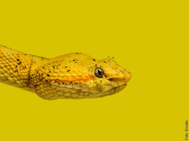 foto de culebra amarilla