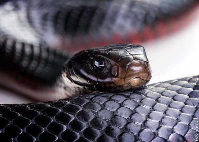 Foto de culebra negra