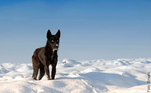 foto de perro negro en la nieve