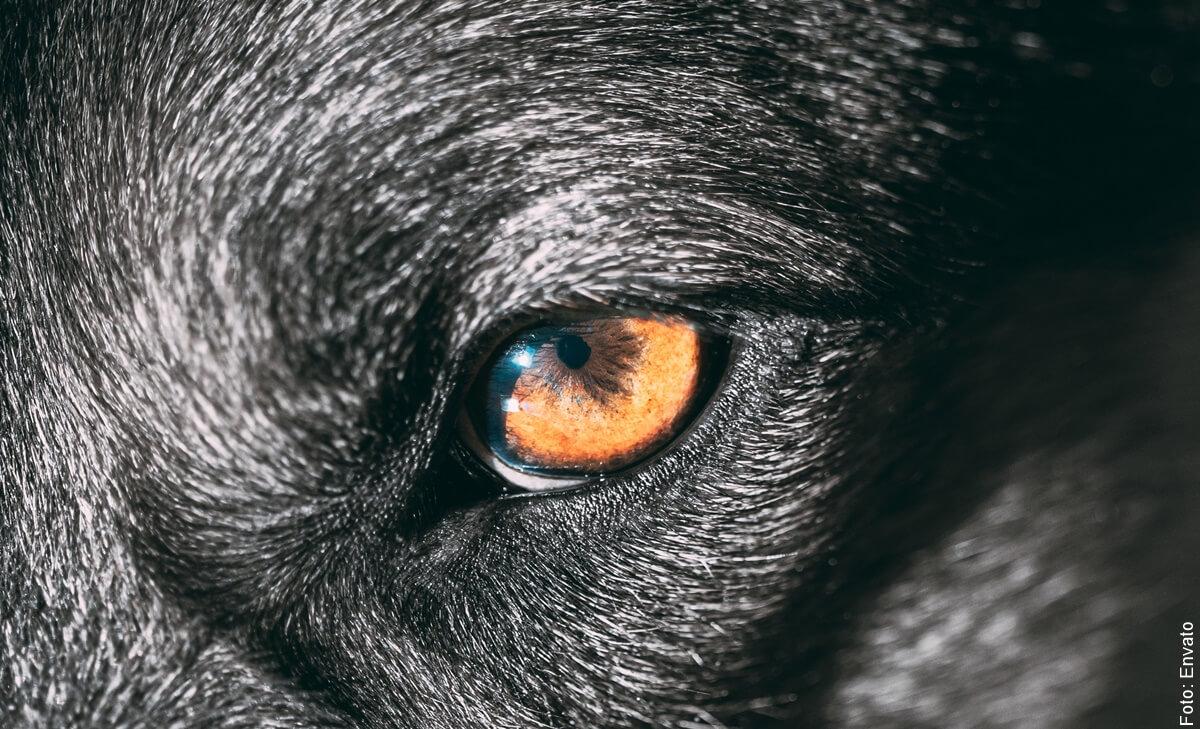 Soñar con perro negro, conoce tus miedos.