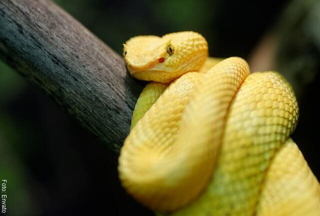 foto de serpiente amarilla