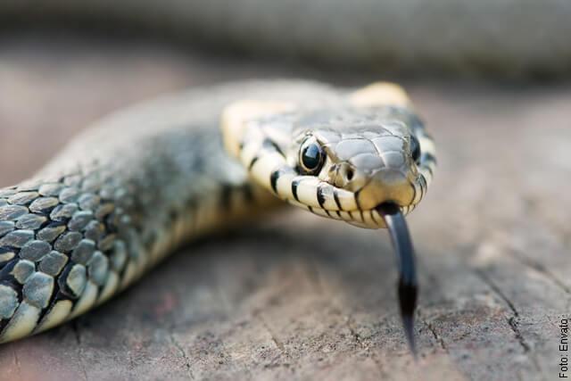 foto de serpiente inofensiva