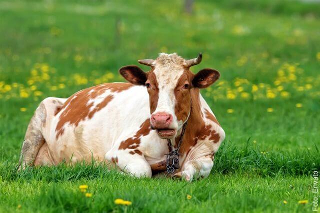 foto de vaca gorda en el cesped