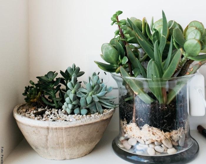 Foto de dos plantas para ilustrar suculentas cuidados