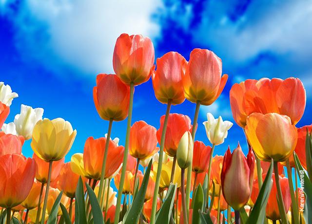 Foto de un cultivo de flores que ilustra los tulipanes cuidados que deben tener