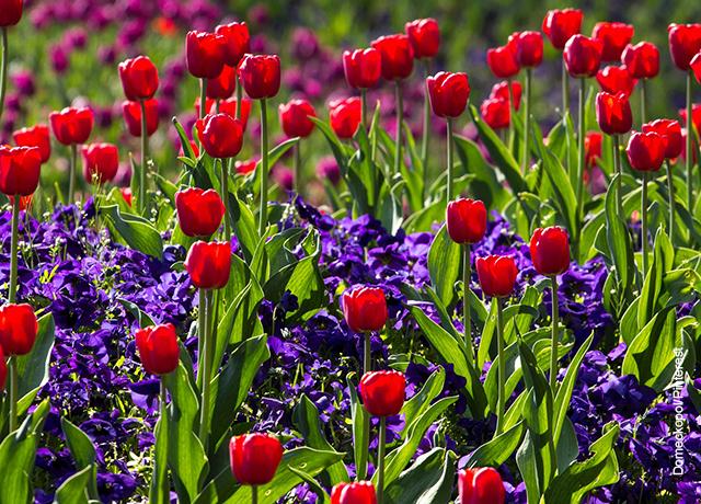 Foto de un sembrado de rosas y tulipanes
