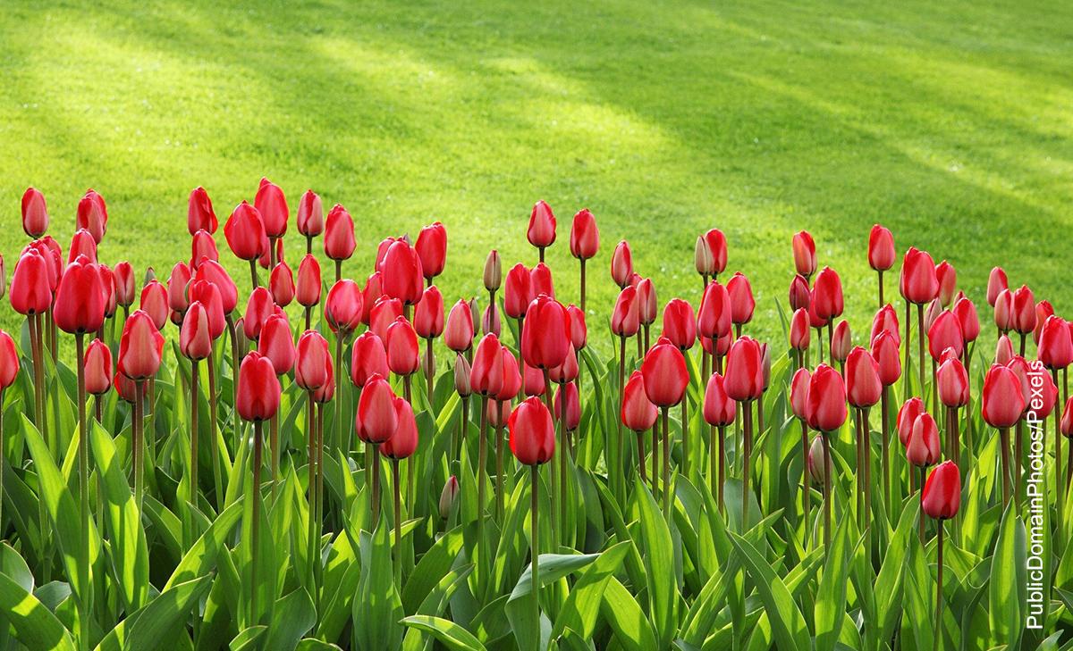 Foto de un sembrado de tulipanes