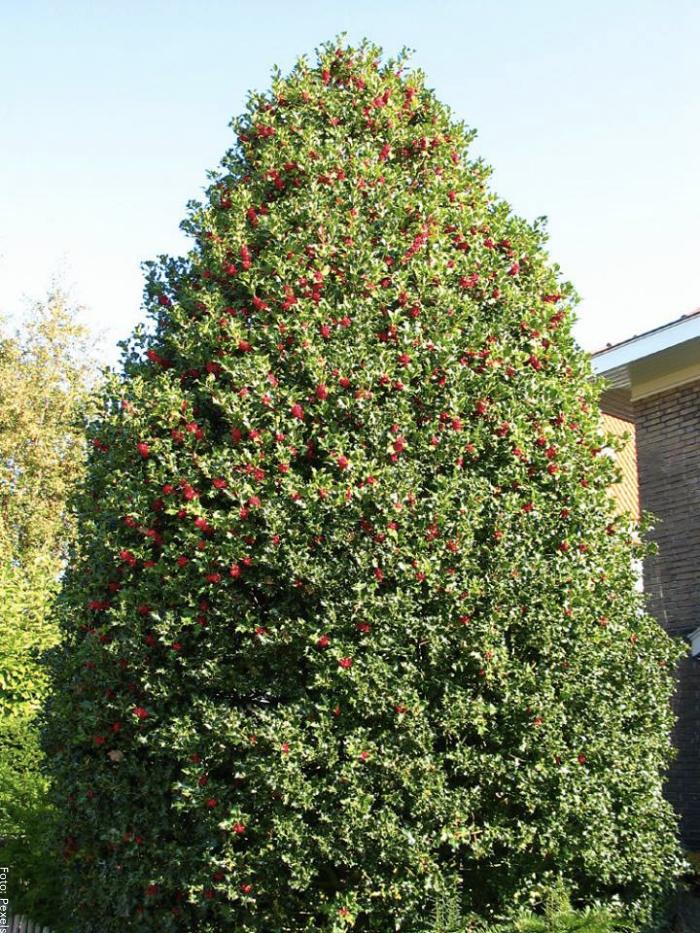 Foto del árbol de acebo