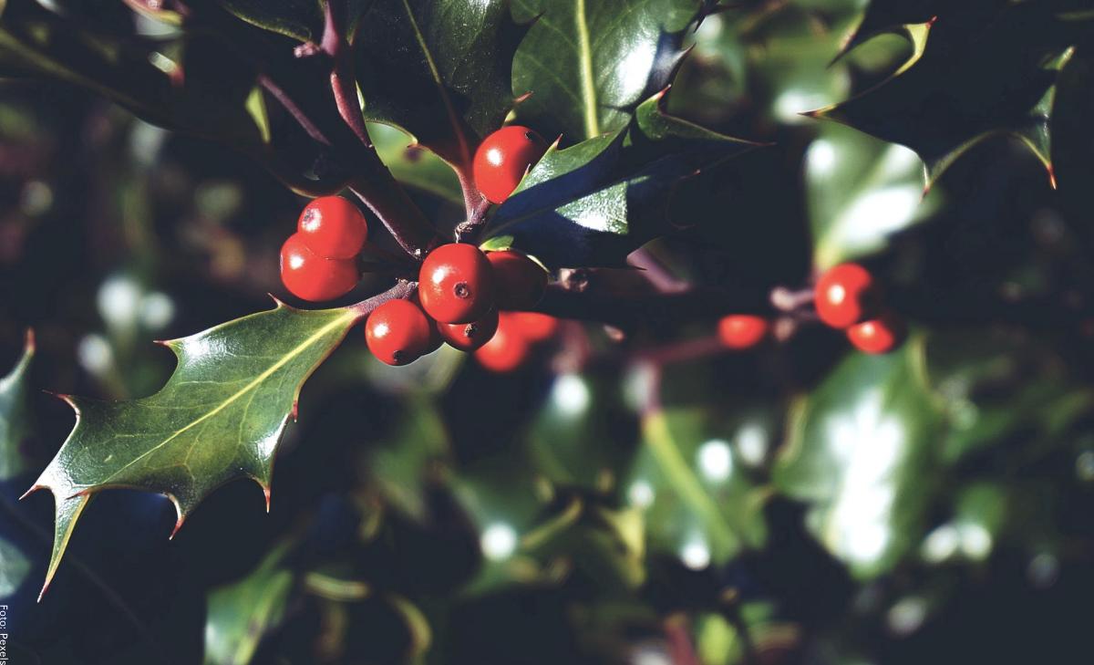 Acebo: cuidados de esta planta símbolo de la Navidad