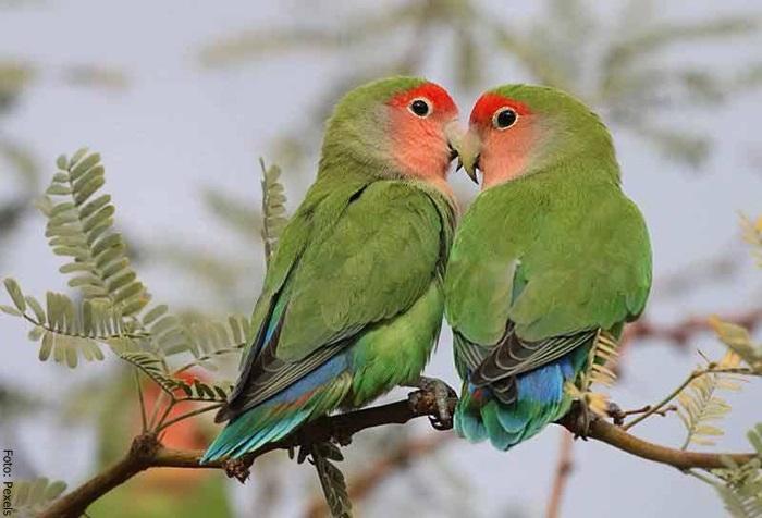 Foto de dos agapornis en pareja