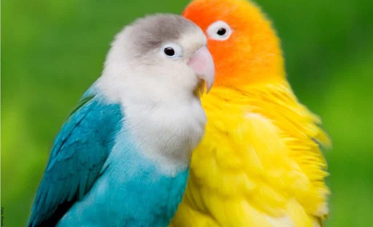 Agapornis: cuidados para estas hermosas aves