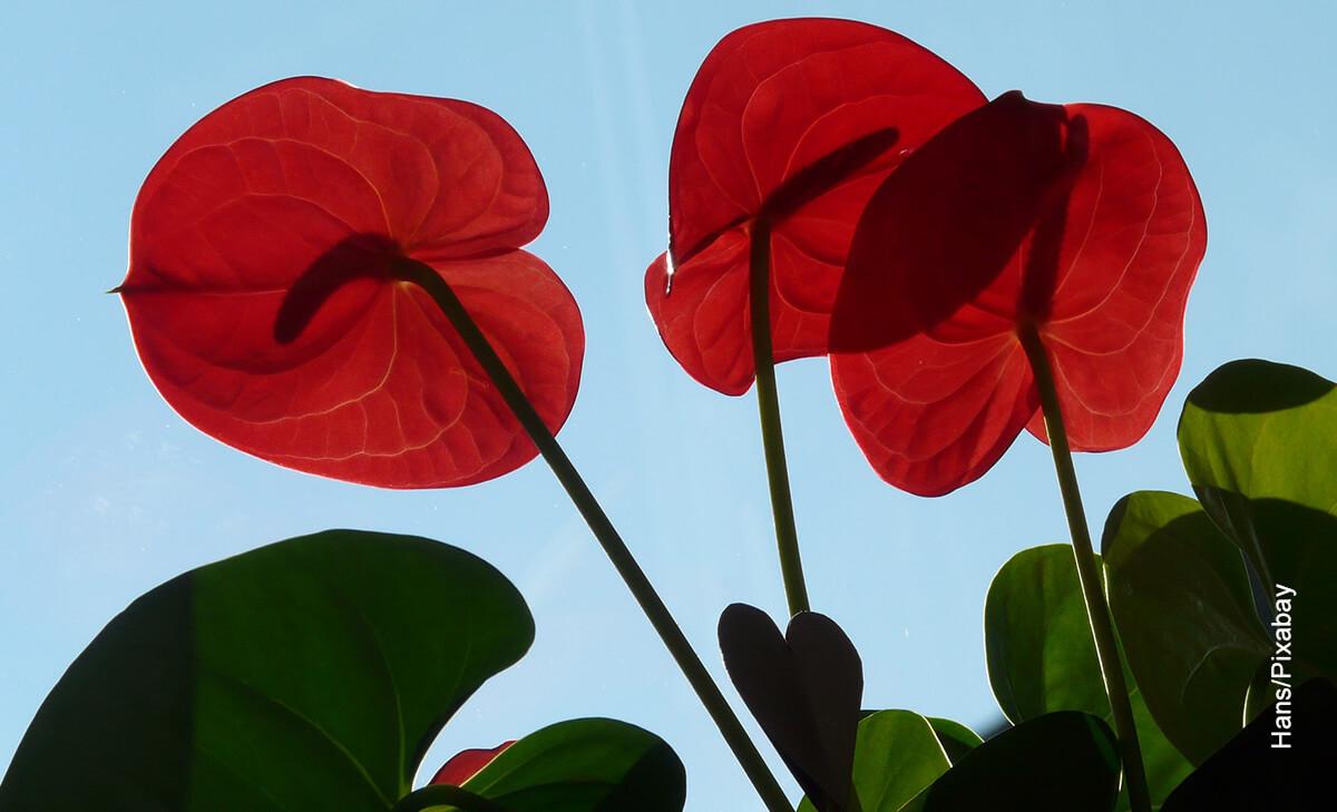 Foto de una planta roja en exteriores que muestra el anthurium cuidados de la flor