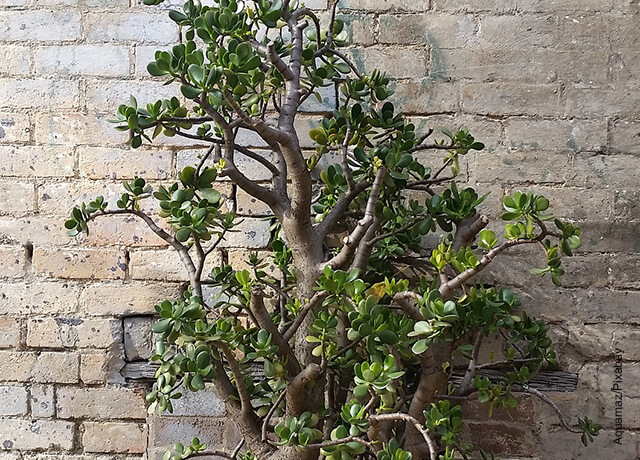 Foto de un bonsái que muestra el árbol de jade y sus cuidados