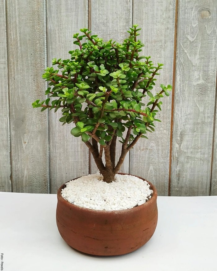 Foto de un árbol de la abundancia cuidados