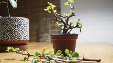Árbol de la abundancia, cuidados que debes conocer