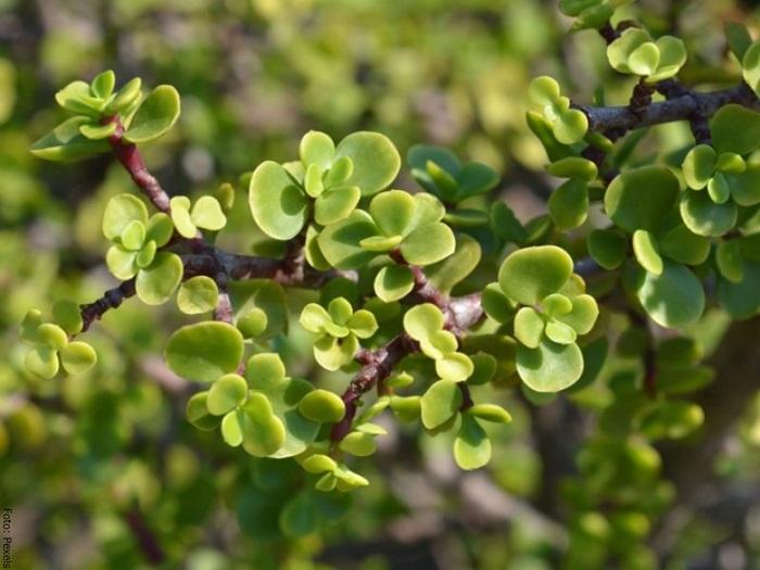 Foto de un arbusto del árbol de la abundancia