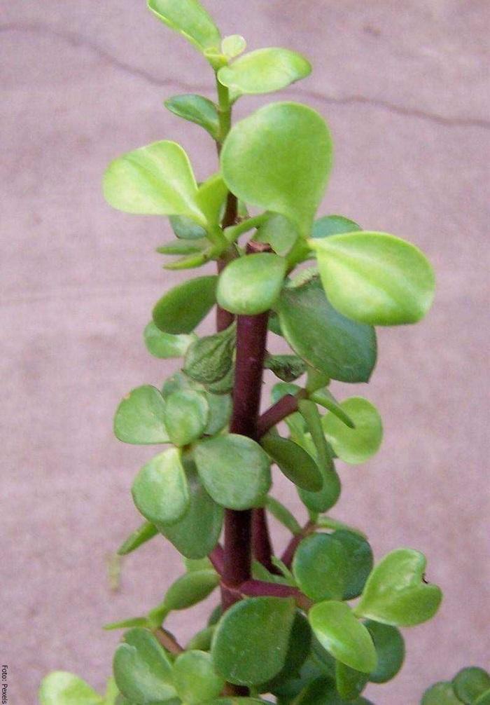 Foto de una planta del árbol de la abundancia
