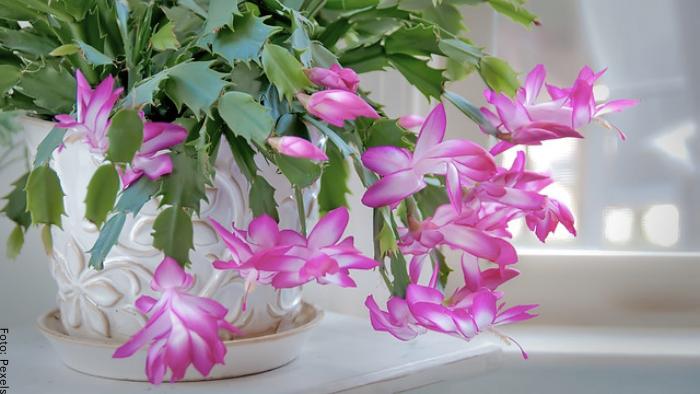 Foto de una planta para ilustrar cactus de navidad cuidados