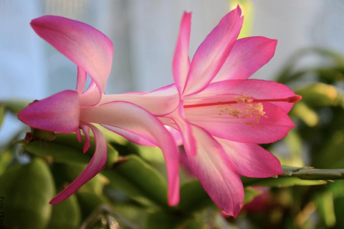 Foto de una flor del cactus de navidad