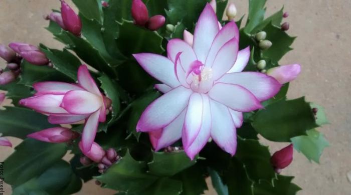 Foto de una planta de Santa Teresita