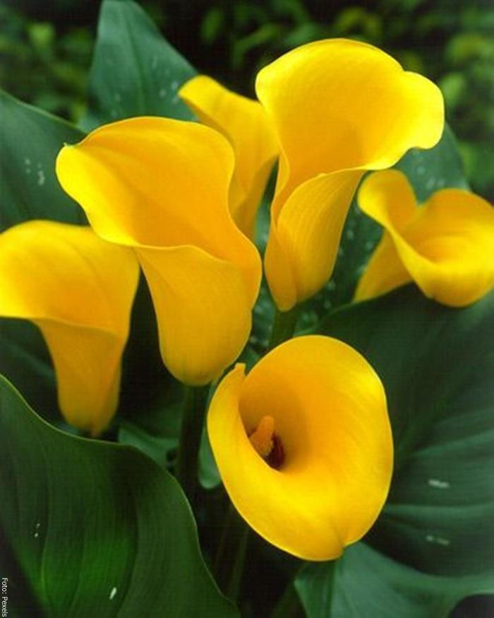 Foto de calas amarillas