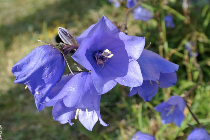 Foto de una flor de campánula cuidados