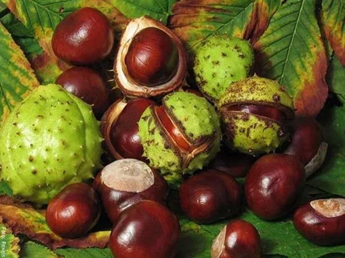 Foto del fruto de castaño de indias para qué sirve
